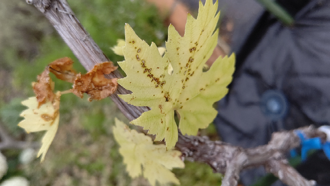 ぶどう(甲斐路)をnp60という植木鉢で育てているのですが最近になってこの様な状態の葉っぱが目立つようになってきました。 これは何かの病気でしょうか? ご教示よろしくお願い致します