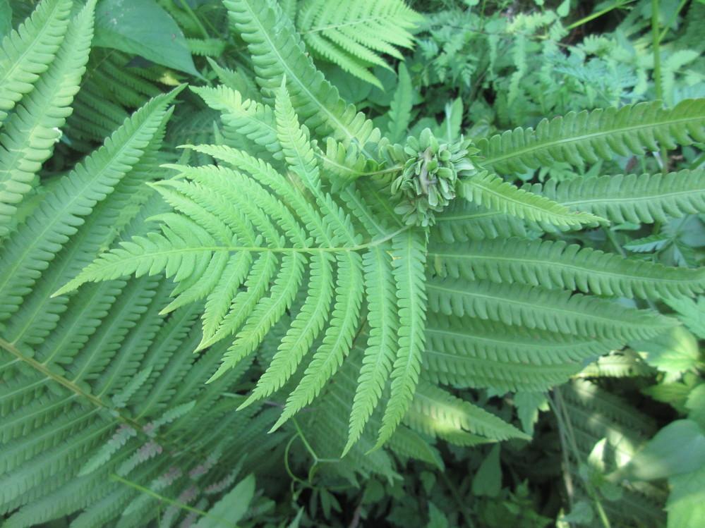 シダ植物の名前と少し異常な状態ですが、これは何でしょうか。