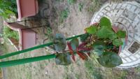 写真を載せるのを忘れたので再投稿です。 この紫の葉っぱは問題無いでしょうか?  種類はピエールドロンサールです。