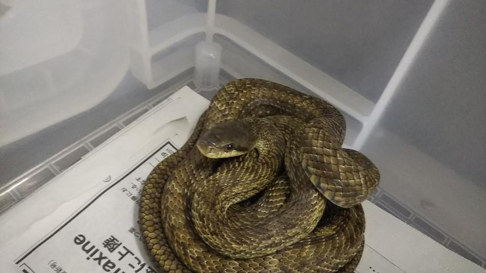質問失礼します。 写真のヘビの種を教えていただけないでしょうか。 模様的にアオダイショウに見えますが、目の色的にシマヘビに見えて、まだ小さい個体のため、どちらかわかりません。 よろしくお願いします。