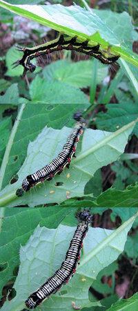 見た目がいささか気持ち悪いですが、 6月の低山にいた何か? の幼虫・毛虫です。5cmくらいありました。 蛾か蝶の幼虫・毛虫っぽいのですが、何の幼虫でしょうか??