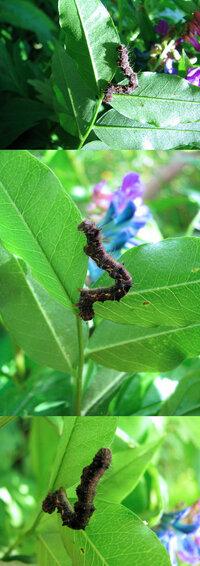 見た目がいささか気持ち悪いですが、 6月の低山にいた何か? の幼虫・毛虫です。 蛾か蝶の幼虫・毛虫っぽいのですが、何の幼虫でしょうか??