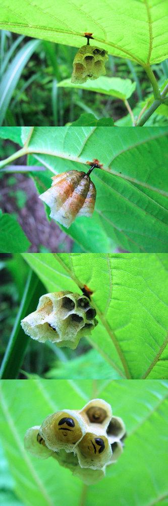 6月の低山にあった蜂の巣です。 葉の裏にありました。 見た瞬間『 小っちゃ・・。』とつぶやいてしまうくらいの小さな巣ですが、 下から覗いて見ると、一つ一つの穴に卵や、ある程度成長した幼虫が顔をのぞかせています。 見るからに 蜂の巣 だという事は分かるのですが、 何という名前の蜂 の巣でしょうか??