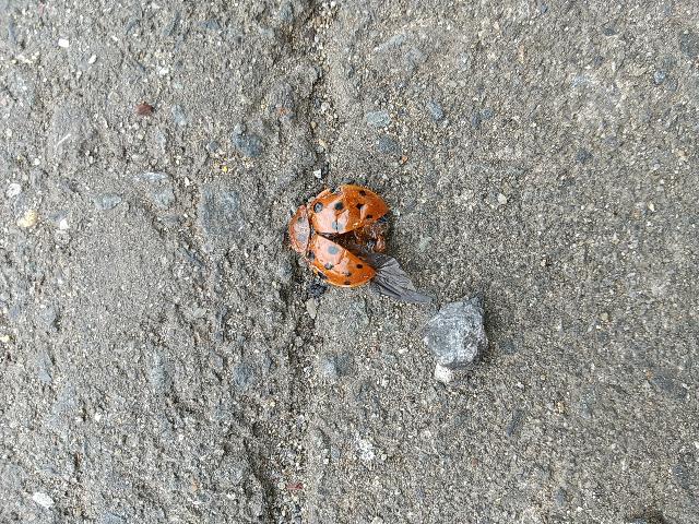 今日仕事で、てんとう虫?の様な物を見つけたのですが、これはてんとう虫の種類になりますか?かなり大きくでもてんとう虫みたいに星があります形も似ています。 生まれてはじめてみたので、衝撃的でした。なんなのか教えて下さい。画像のです。既に死んでます。