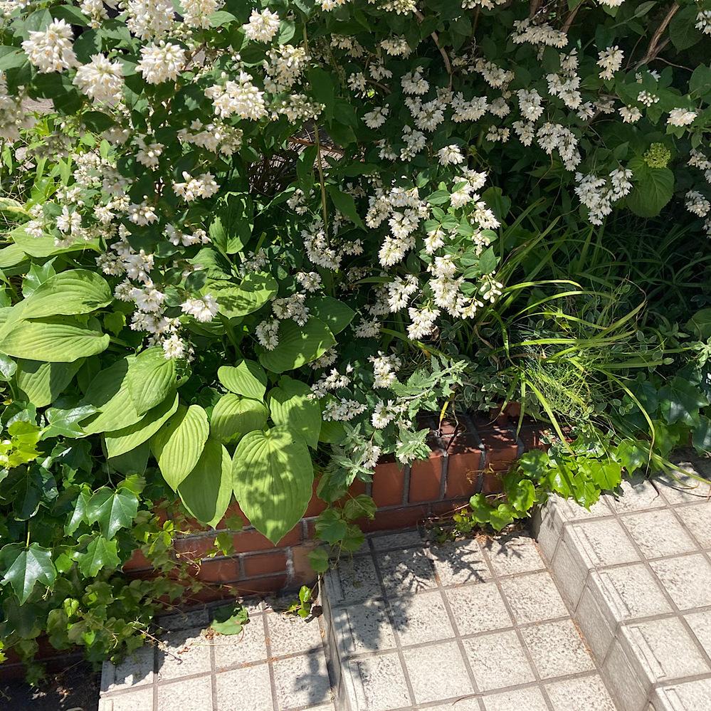 これはなんの木ですか? 白い花がたくさんついていて、 高さは人よりも高いです