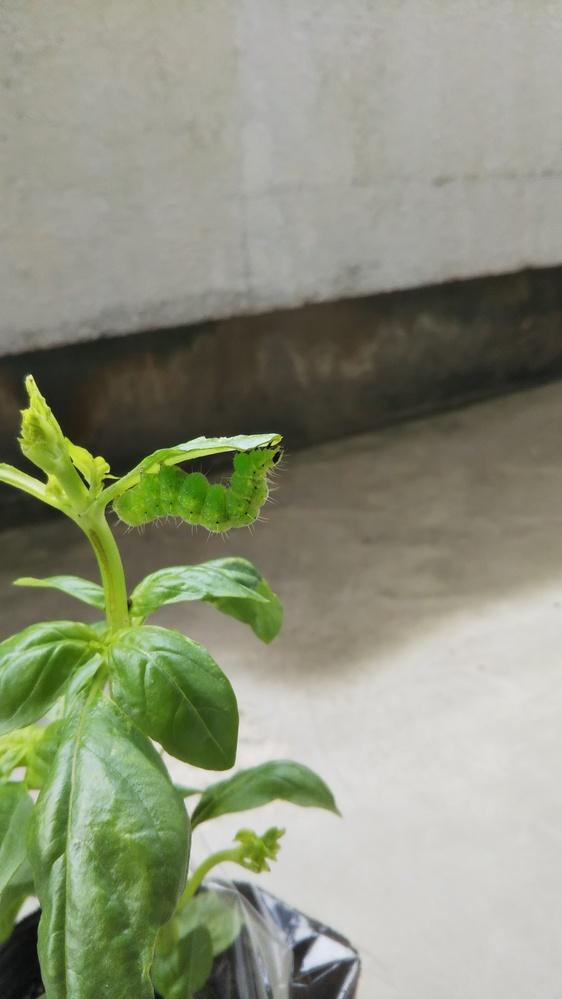 昨日購入したバジルの苗に大きな青虫(毛も少しあるので毛虫??)がついていたんですが、これはなんの幼虫でしょうか?!