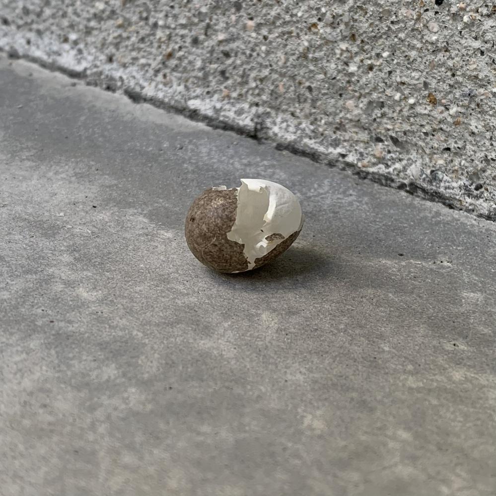 5月の中旬頃なのですが、玄関前にこんな卵の抜け殻が落ちていました。 大きさは2㎝×1.5㎝ぐらいでした。 蛇などの殻ならちょっと怖いなと思い、質問させて頂きました(><;)