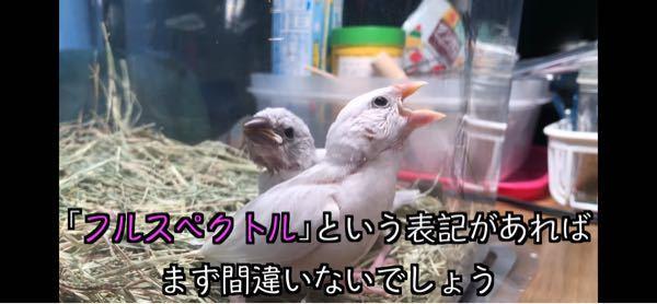 YouTubeの文鳥の成長記録みたいな動画を私の文鳥に見せるとクルクル怒って画面を突いていました。何故だかわかりますか? 小文鳥がピーピー鳴いていのが気に食わなインでしょうか?