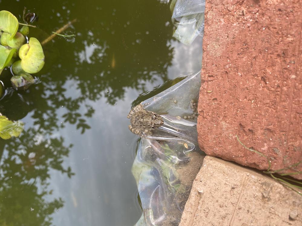 庭の池にいたカエルなのですがこのカエルの種類を教えてください。