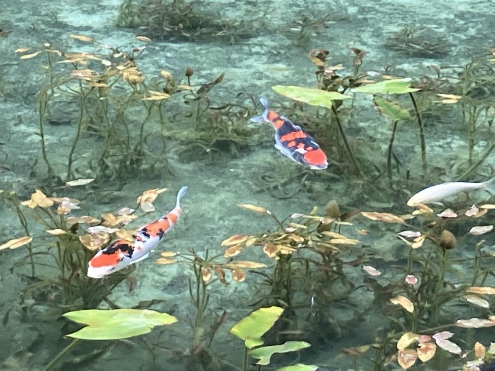 モネの池で写真を撮りました。水の色が青色できれいでした。なぜ青色に見えるのでしょうか。