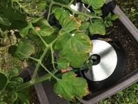 ミニトマトを栽培中ですが、葉先がこんな状態です…。 どういう病気が考えらますか? ベニカファインXスプレーで対策出来るでしょうか? どなたか教えてください。