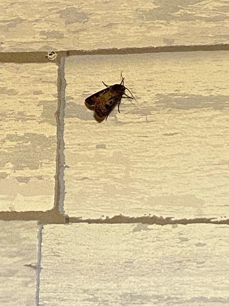 こんばんは! 夜分遅くにすみません! この蛾は何ていう蛾ですか?? レディーガガという名前をつけて ペットにしようと思ってます。