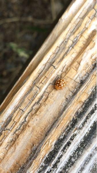 てんとう虫を、山で見かけたのですが、珍しいと思い撮りました。詳しい方教えて下さい。