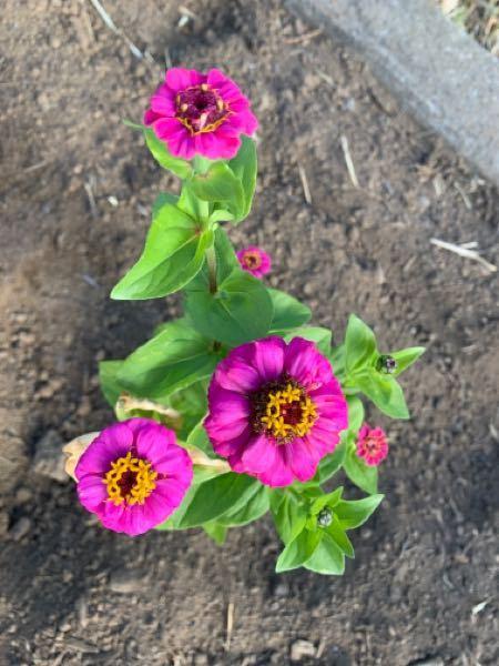 花の名前を教えて下さい 通りかかりの住宅地で見かけた花の名前を教えて下さい。 草丈は大人の膝あたりの高さで、色は黄色、ピンク、オレンジ、赤です。 お詳しい方よろしくお願いします。