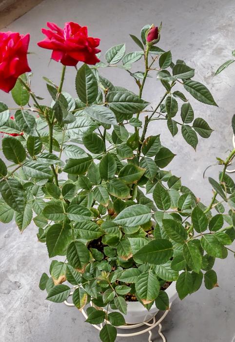 ミニバラの葉の周辺が茶変して枯れてきています。 水不足でしょうか? また、花後の剪定ですが、完全に咲ききってから半分ぐらいの長さに切ろうかと思っていますが、これからの時期のやり方として正しいでしょうか? 花首で切るのはいかがでしょうか?