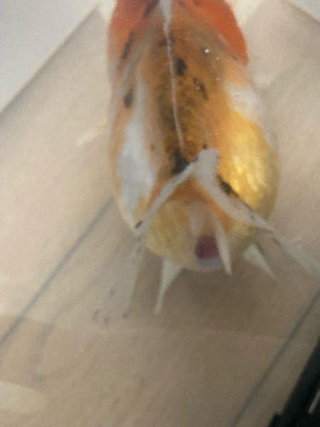 飼育している金魚の肛門が広がり、かつ赤くなっています。 肉瘤が穴あきになり、塩浴と観パラDを使用して治療中でした。 肉瘤の穴あきは完治が難しいと聞いておりまして、かれこれ2週間ほど隔離水槽にて治療しております。 2日くらい前から肛門が広がり、かつ赤くなってきました。 治療はこのまま継続すべきでしょうか。 違う手法に切り替えるべきでしょうか。 良い手法があれば教えて頂きたいです。 ○治療環境 生体 15センチ オランダ オス 20リットル 塩5%と観パラD 水温26度程度 2日1回半量換水してます。