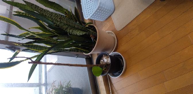 観葉植物について 葉っぱが咲かなくなりました。 お水は2日に一回程度あげています。 原因が分かる人いますか?