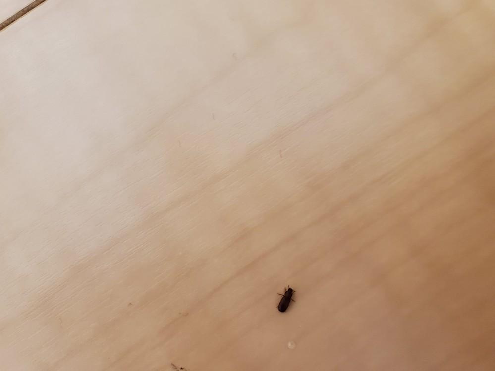 これはゴキブリの子供ですか? 白い線はなく、黒〜茶色で、触覚は短い、歩くスピードは遅い
