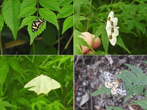 右下の蛾はツマキシロナミシャクでしょうか? 写真が小さくてすみません。