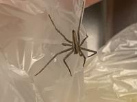 クモに詳しい方お願いします。 昨日から家に画像のクモがいるのですが、自分で調べてみたところシャコグモかな?と思っています。 大きさは脚を含めて3センチほどです。 このクモは家にいてもいいクモなのでしょうか? それとも外に逃がしてあげたほうがいいクモなのでしょうか? 調べても生態まではよく分からず…… あまり家で見かけるクモではなさそうなのでどうしたらいいか迷っています。 知恵を貸...
