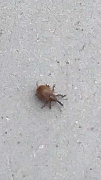 ベランダの網戸に取っても取っても虫がひっついています。 この虫は何でしょうか? 1mm程度の大きさで爪で潰しています。 手に乗せるとしばらくすると歩き出します。 多分飛んで来ていると思いますが。 人には無害なんでしょうか