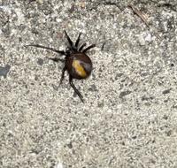 庭にセアカゴケグモらしき蜘蛛がいたのでですがこれはセアカゴケグモですか? お分かりになる方教えて頂きたいです。 宜しくお願い致します。