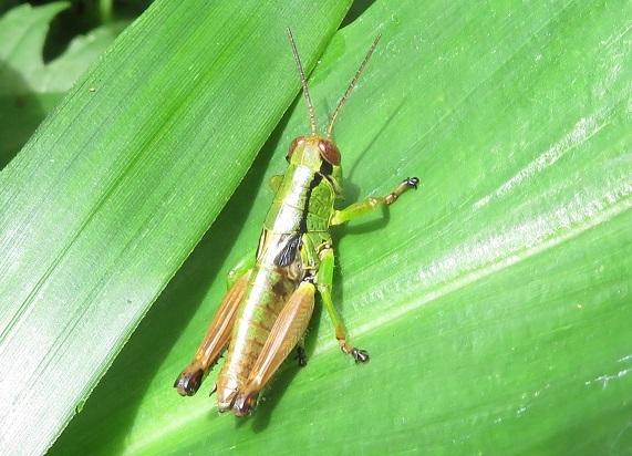 どなたか、この昆虫の名前を、教えていただけないでしょうか。フキバッタの仲間でしょうか。