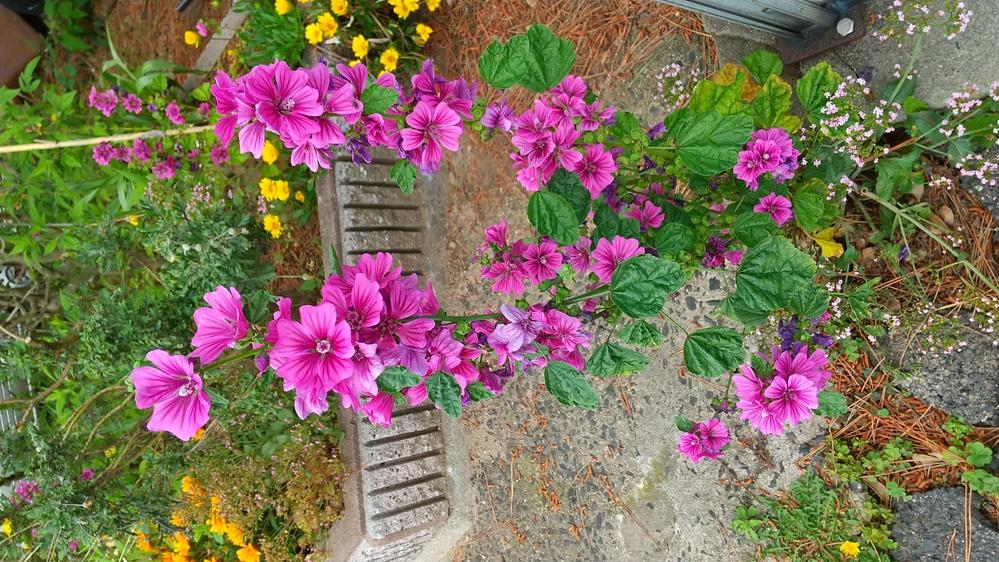 この花の名前を教えてください。 はっぱの形に特徴がある気がします。