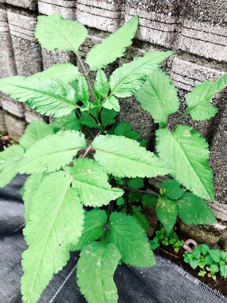 この植物は何だと思いますか? 少し紫がかっててなにか実がなりそうです。 何の植物かわかる方いますか?