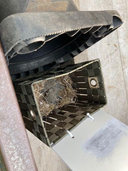 うちのトラックに巣を作ってたみたいです(笑) この鳥はなんていう名前ですか?