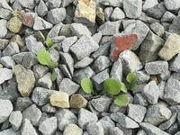 防草シートと砂利を昨年秋に、割と広範囲に施工したのですが。。。 今年に入って図の様に草が生えてきます。 抜いても抜いても生えます。 割と大きいのは比較的抜きやすいのですが。 芽が小さい物はジャリをかき分けるのも大変で、途中で切れてしまいます。 また、指が泥とキズだらけになり、暑い中の作用は大変です。  防草シートを施工しても草は生えるのでしょうか?  1)除去するのに適した時期はありますか?...