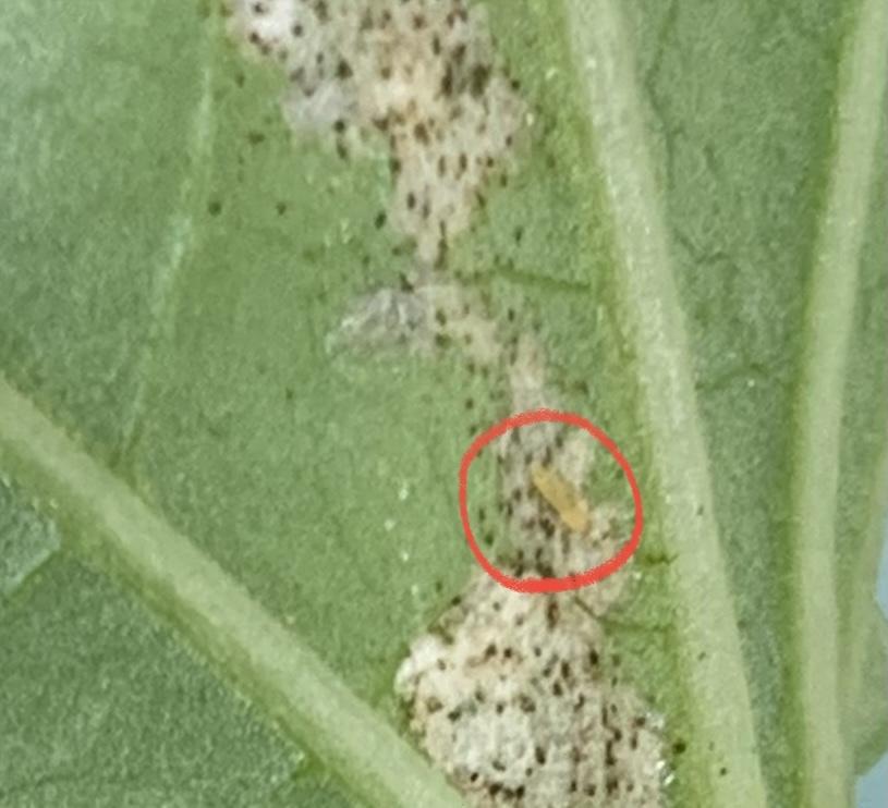 朝顔の葉の裏にいる虫を教えてください。 葉に昨日まではなかった斑点?のようなものを見つけ、裏をみたところ写真のようになっていました。 肉眼で見た時はわからなかったのですが、写真を見ると左の方に小さい虫がいるようです。 他の葉にはまだ同様の異常がないようですが、この虫の対処法を知りたいので、この虫が何か教えてください!