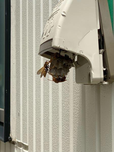 家の駐車場に巣と数匹の蜂を発見しました。 こちらの蜂はなんという蜂でしょうか? また、駆除方法も教えていただけると助かります。。。