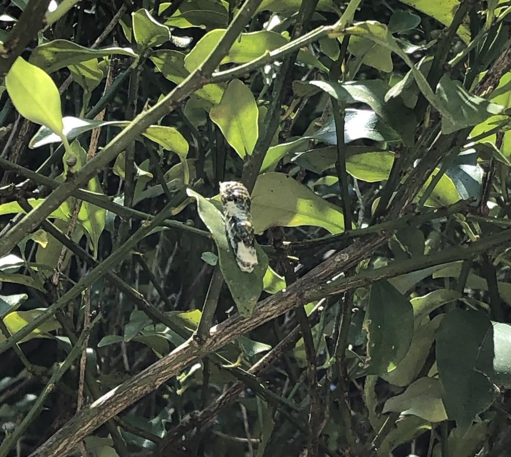 金柑の木についていたのですが何アゲハの幼虫でしょうか?