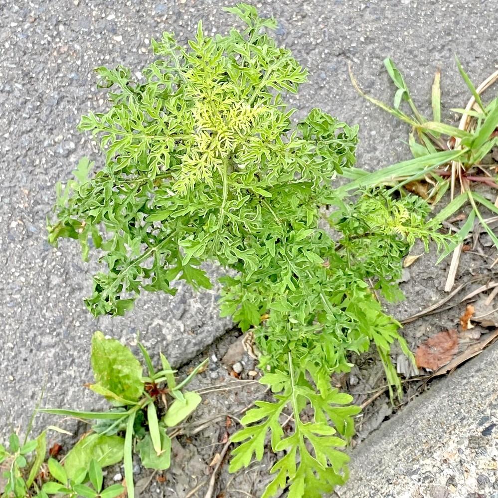 画像の植物は、私が知っている植物と違う葉の形をしています。 何と言う植物で何故このような葉になったのか分かる方は教えてください。