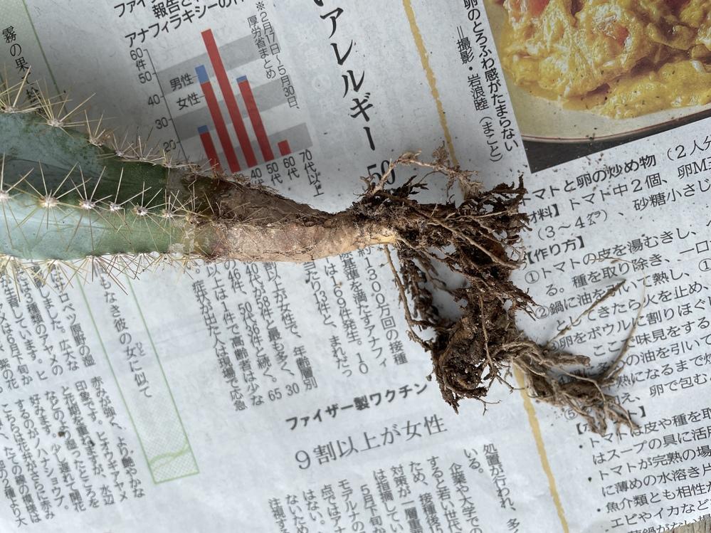 サボテン初心者です サボテンの下の方が皮が剥がれたようになっています。根腐れでしょうか? 鉢替えをしようと思ったのですが、このまま植えていいですか? 根っこもくるんと曲がっているので、下の方切ろうか迷っています。
