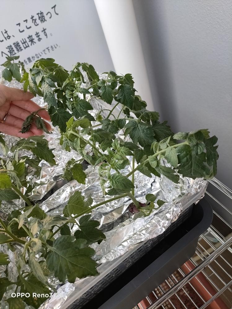 トマトの水耕栽培 昨日、土で種から育てた トマトの苗を水耕栽培に変えました 水温が上がらないように アルミホイルを巻き(一時的に外しました) 根が呼吸できるように 少し水から根を出してます 肥料はハイポネックス微粉 2グラムに対して2リットルで作りました 変えてからすぐ元気がなく 仕事から帰ると 萎れている葉もあり なにが原因なのか全くわかりません 原因はなんでしょうか(><)
