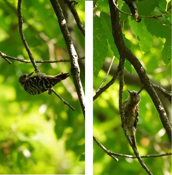 関東の湖のある低山の公園で撮影しました。左右同じ鳥です。 知らない鳥は家に帰って調べてますがコゲラで合ってますか。