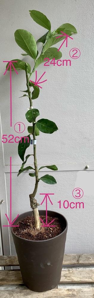 レモンの木の剪定について教えてください。 ベランダでレモンの木を育てはじめました。 今年の5月上旬、インターネットで購入しました。 画像の通り、②は少しずつ伸びてきています。 これは2年生の木かと思うのですが、 ①の主枝から②以外の枝が出てきません。 このままだと高くなり過ぎてしまうので、 ①の半分くらいの高さから二股に分けて横に広げたいと思うのですが、 いかがでしょうか。 今年は花が咲かないだろうと覚悟してます。 可能であれば、剪定位置、剪定する時期などご教示ください。