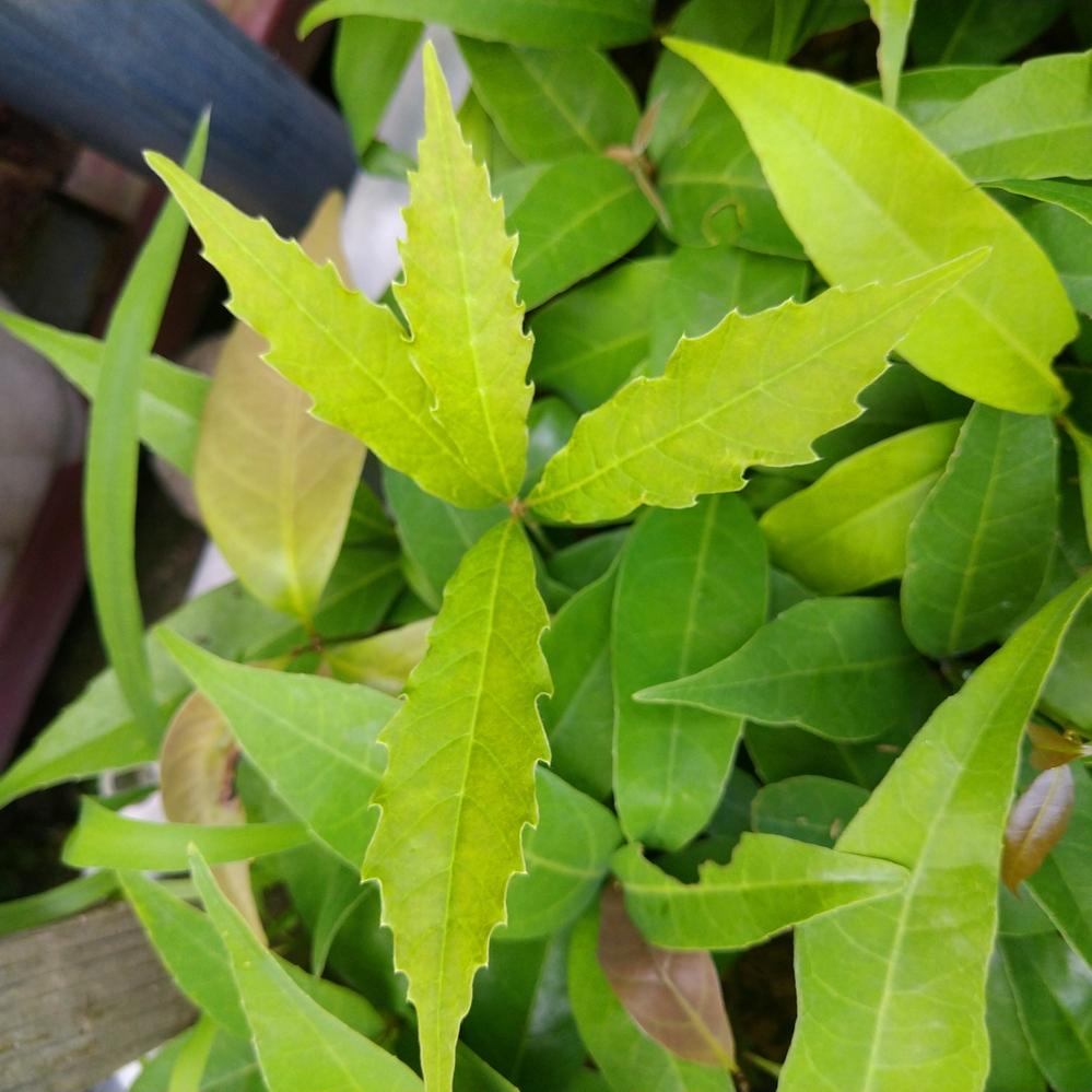 このどんぐりは何の種類ですか? 去年ウラジロガシかシラカシかと思ったどんぐりを何百と蒔きました。芽が出できたのですが、何百のうち一本だけこんなに深い鋸歯があります。アラカシでもないと思います。アラカシよりミズナラに近い感じがします。けどかしの木です。種類わかりませんか?ちょっと気に入ってます。どんぐりノートにもどんぐり図鑑にものっていません。名前が知りたいです。木を植える方よろしくお願いします。