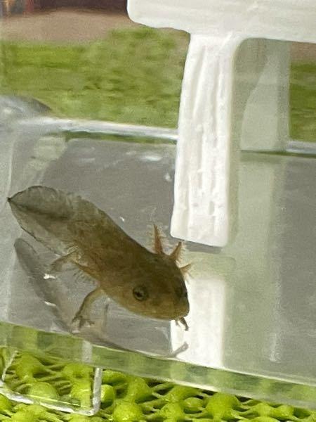 沼で泳いでいたところを捕まえたのですがこの生物はなんですか??ウーパールーパーですか??