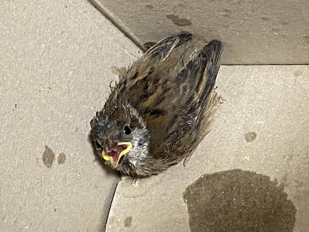 この鳥はなんですか? ベランダで弱っていたのでとりあえず保護しました。 スズメなのか? 詳しい方教えてください とりあえずお水を飲ませました。 よろしくお願いします。