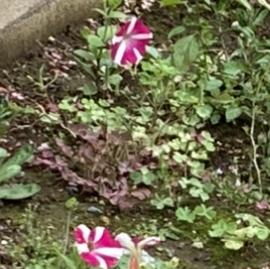 空き地に咲いていた、フロックスについて質問です。フロックスが野草なのは、あり得ますか?