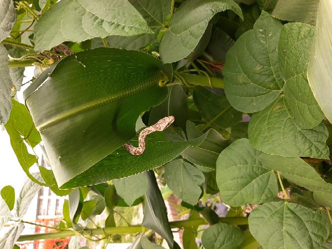 蛇 庭 庭で家庭菜園しているんですが、ヘビが出ました。 これは毒蛇でしょうか?? ちなみにトウモロコシに登っていました。 子供に野菜収穫してもらったりするため毒蛇がいるかもしれないところに近づかせるには いかないです。 もし、毒蛇だったのであれば対策等ありますか?