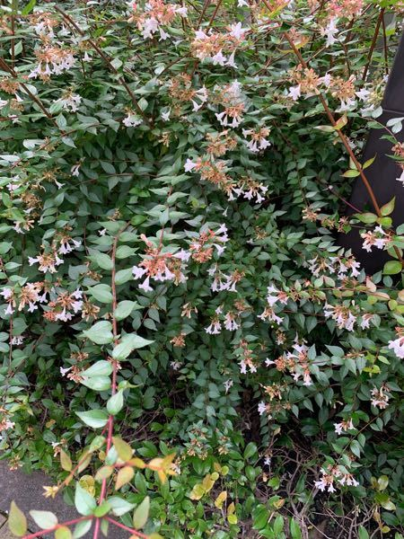 この花の名前を教えて下さい。白い小さい花で、よくミツバチや蝶が飛んでます。