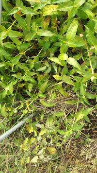 除草剤の噴霧組み合わせを教えて頂きたい。  難儀しているのは、オヒシバと画像の雑草(名前わからん)。 今、使っているのが、 ・ナブ乳剤 ・サーファクタント ・カーメックス ・ラウンドアップ ・ザクサ ・グリホ(農耕地用/非選択型)  ナブ乳剤は、オヒシバ対策にサーファクタントと組み合わせて使っている(種子屋さんに勧められた)。 カーメックスは、説明されたけどどうやって使うのか説明されたのを忘...