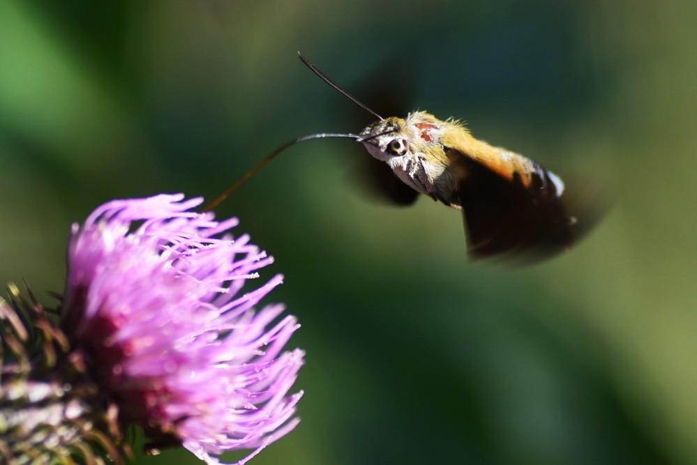 アザミの蜜を吸っているこの昆虫は「アブ」で正しかったでしょうか、教えてください。よろしくお願いいたします。
