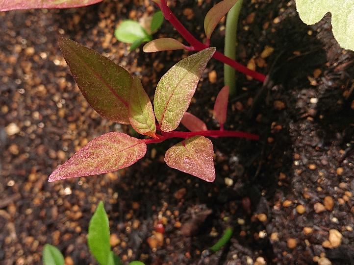 こんにちは。この赤い茎をした植物の名前を教えてください。