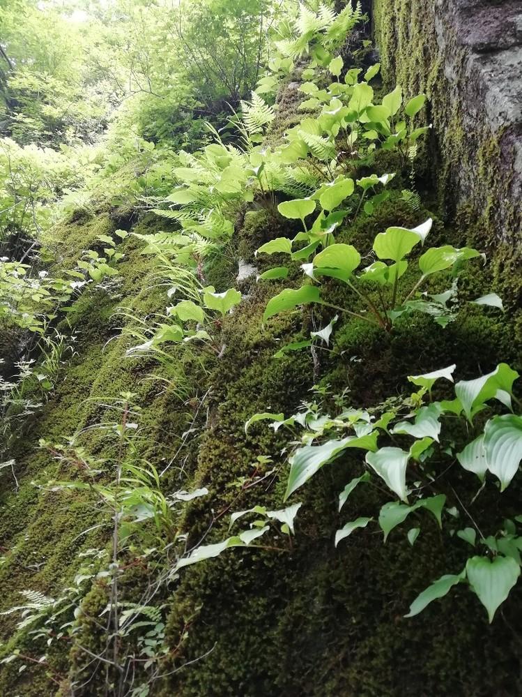 この植物の名前がわかる方どうか教えて下さい。 先日山で見つけたこの植物、岩肌の苔からニョキニョキっとたくさん生えている卵型の葉っぱ。イワタバコ?であれば少し頂いて食べようと思ったのですが、ネットで調べるとどうも違うようで。。 どなたかご存知でしょうか?