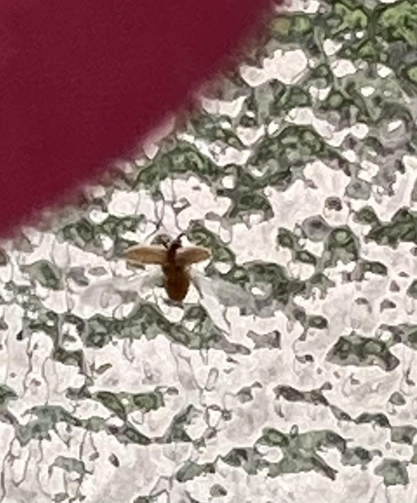 この虫、なんの虫ですか? 窓を網戸にしていたら、大量に窓の内側についていました! とてもパニックになり、抹殺したのですが、まだチラホラと窓にいるのを見かけます。 羽を一瞬広げてピョンと飛んだりしています(汗)(写真は羽を広げた時です) お腹が丸く、最初はダニかノミか、南京虫かと思ったのですが…。 小さな子供がいるので、刺されないか心配です。 なんの虫でしょうか?